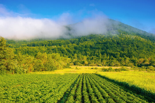 rural landscape with potato field grow in a row. lush green scenery in morning light. organic crop vegetation. rustic agricultural background in summer