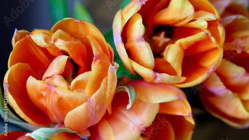 Flowers of orange and yellow tulips in a sunny international women's day or mother's day