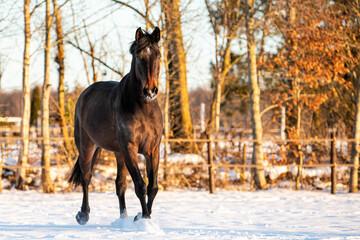 Wall Murals Horses winter horse in snow