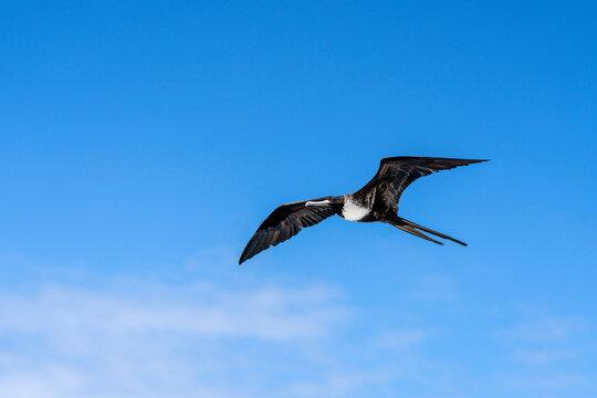 Magnificent frigatebird (Fregata magnificens) female in flight on the Galápagos Islands.