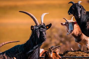 Printed kitchen splashbacks Antelope Ziegenherde in der Abendsonne