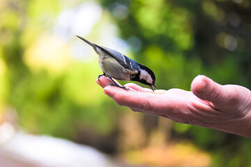 Fototapeta Tit eats food from the hand of an elderly person in a green forest in sunny day.