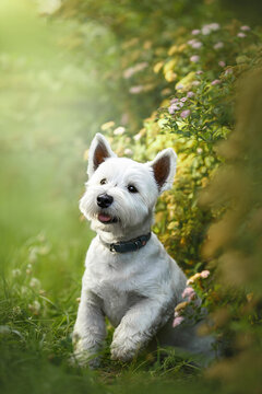 west highland white terrier dog in green park
