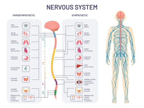 Human nervous system. Sympathetic and parasympathetic nerves anatomy and functions. Spinal cord controls body internal organs vector diagram