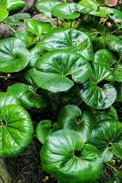 Ligularia Tussilaginea in the garden