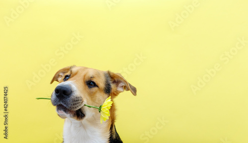 A dog holding a flower chrysanthemum in its teeth on the yellow or illuminating background. Tricolor dog training. Congratulating or celebrating mother's day. International women's day. Copy space.
