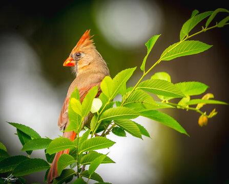 MaMa Cardinal on a Branch
