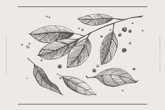Hand-drawn leaves, a branch of laurel and peppercorns on a light isolated background. A set of spices for cooking. Organic food concept. Vector illustration.