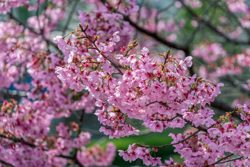 Wall Mural - Pink flower, Cherry blossoms tree in spring.