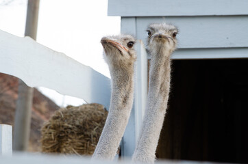 Birds ostriches in a wooden pen live on the farm. Animal life on the farm