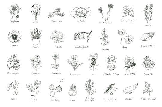 Flowers and vegetables, herbs spring line illustrations set