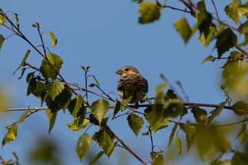Obraz Ptak Potrzeszcz siedzi na gałęzi (Emberiza calandra) - ptak siedzi nieruchomo na drzewie między zielonymi liśćmi - fototapety do salonu