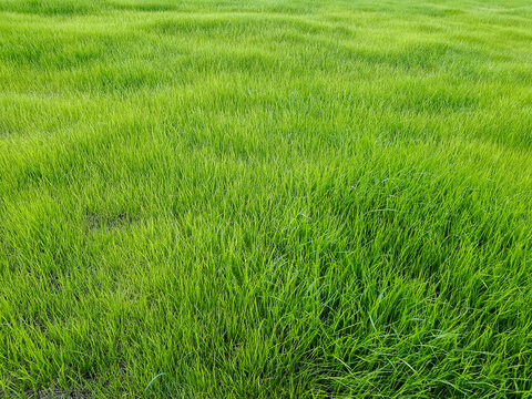 Perfect, long green grass in the spring. Background of uniform vegetation