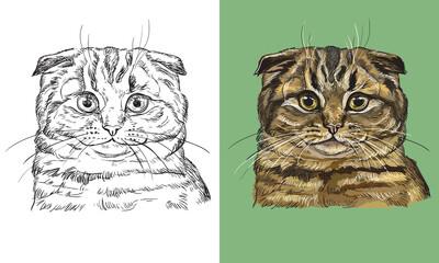 Vector illustration portrait of cute Scottish Fold cat