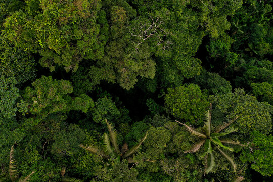 Aerial top view of tropical forest canopy from a small distance separating the many different tree species including palm trees