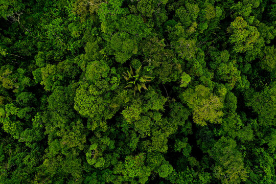 Aerial top view, wide shot of a tropical forest canopy with many different tree species also referred to as brocceli field