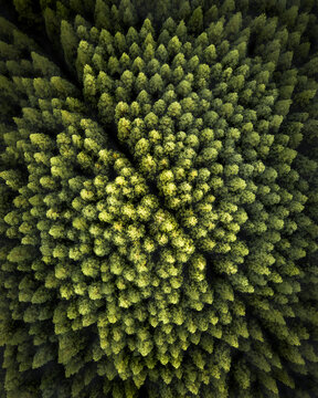 Aerial view of a pine forest from above, bird eye's view of green trees on Pico Island, Azores archipelagos, Portugal.