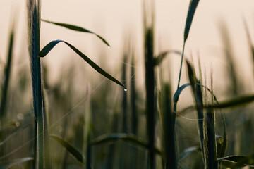 Żyto zwyczajne Secale cereale - fototapety na wymiar