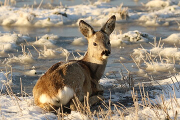 Winter. A roe deer is resting on a frozen field. There is frost on the ears of a roe deer