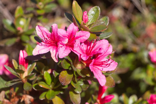 Pink flowers of azalea