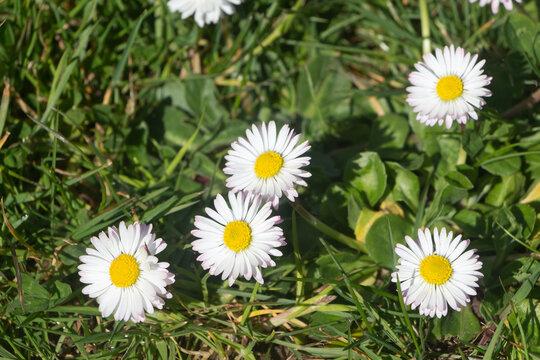 White flowers of daisy