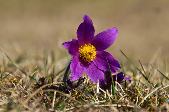 Beautiful purple fluffy flower Oriental Pulsatilla patens pasqueflower