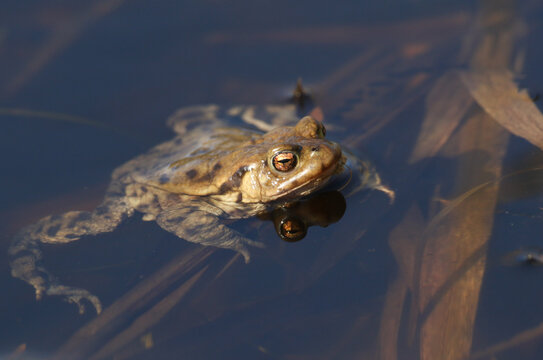 A Common Toad, Bufo bufo, just out of hibernation in spring in a pond during breeding season. It is waiting for toads to come into the water so it can mate and spawn with them.