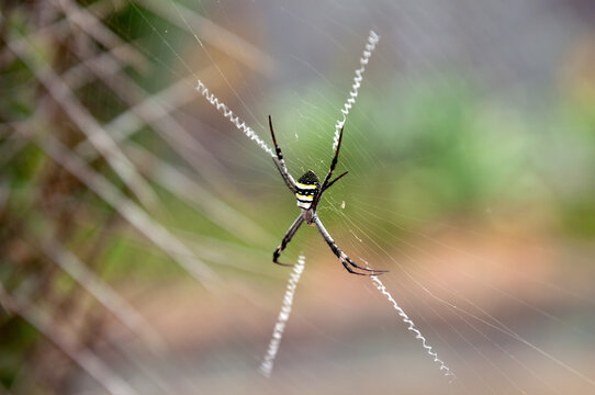Sydney Australia, Argiope keyserlingi or Argiope aetherea both known as St Andrews cross spiders