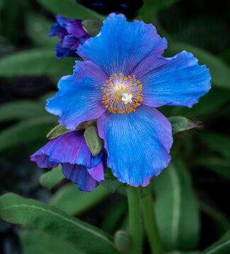 Blue Bell flower Closeup