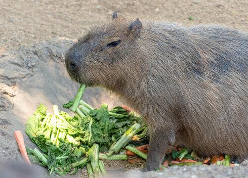 Animal muy tierno comiendo verduras