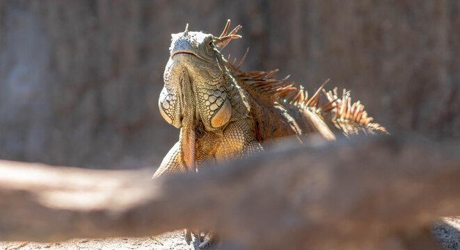 Iguana viendo a un lado