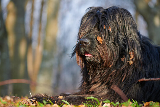 Portrait of black bergamasco shepherd dog