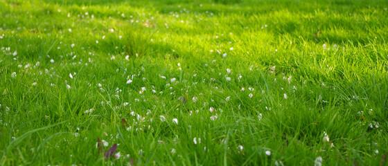 Fototapeta Płatki jabłoni na tle jasno zielonej trawy