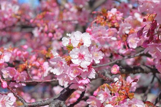 画面一杯の河津桜