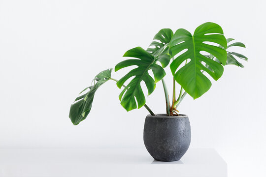 large leaf house plant Monstera deliciosa in a gray pot on a white background in a light interior