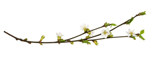 Spring cherry twigs with small flowers and green leaves