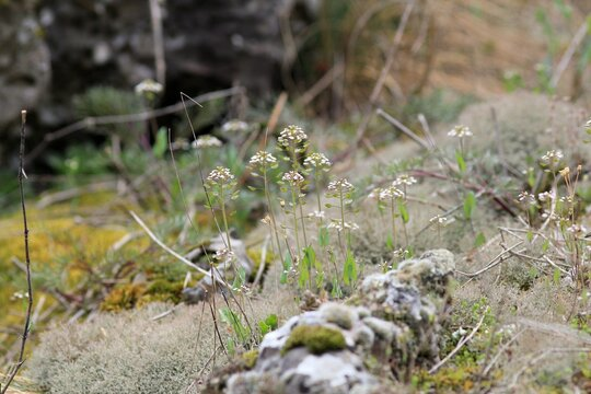 Small flowers of Capsella bursa-pastoris in the forest in spring