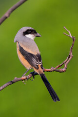 Long-tailed shrike perching on the tree branch with green background.