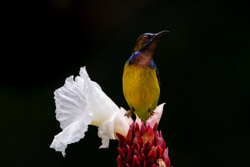 Male Brown-throated sunbird perching on the white flower with black background.