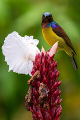 Vertical image of Male Brown-throated sunbird perching on the white flower.