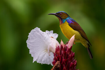 Male Brown-throated sunbird perching on the white flower.