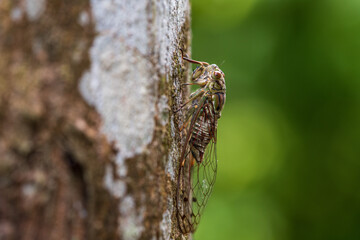 Side image of Common cicada perching on a tree trunk.