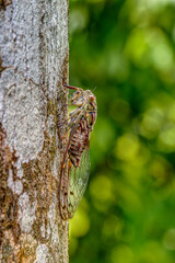 HDR image of Common cicada perching on a tree trunk.
