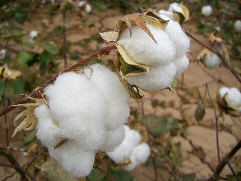 Xinjiang cotton in Turpan, China