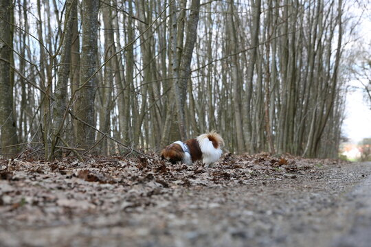 Kleiner Hund auf der Suche, Spürnase, Suchhund, Schnuffeln, Tibetan Spaniel, Tibetan Spaniel