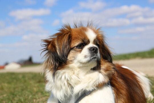 Kleiner Hund - Porträt, Close up, Nahaufnahme, Kopf, Gesicht, Natur, Tibet Spaniel, Tibetan Spaniel