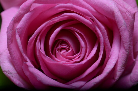 A close up shot for a pink rose taken with Nikon D7000 and Macro lens Sigma 105 mm.