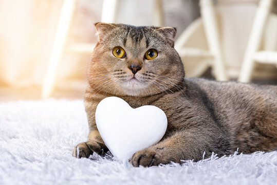 Brown Scottish Fold cat with white heart between paws on the carpet. Heart as a symbol of the search for your soul mate. The cat is looking for a girl. Breeding purebred cats, cattery for cats