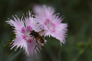 Obraz Owad zbiera pyłek z kwiatka - fototapety do salonu