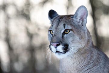 Portrait of a male American cougar